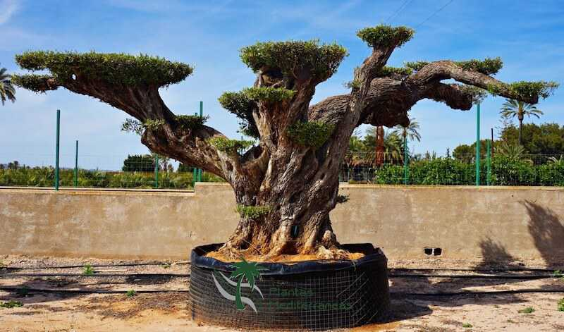 olivo millenario